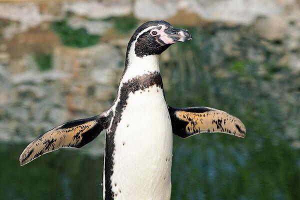 Виды пингвинов с фото и описанием - Пингвин Гумбольдта