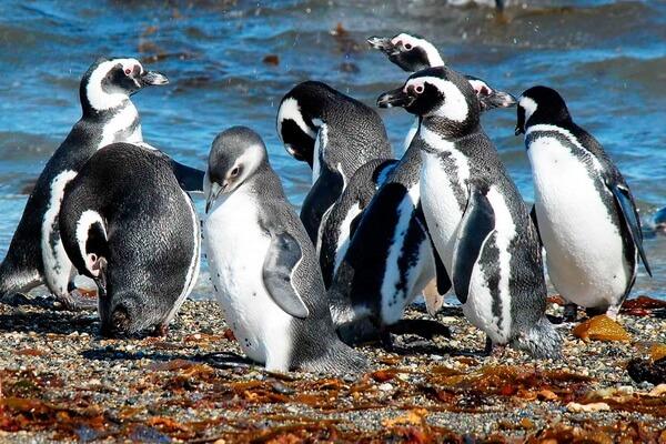 Виды пингвинов с фото и описанием - Магелланов пингвин
