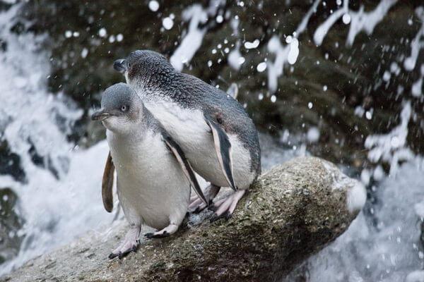 Виды пингвинов с фото и описанием - Белокрылый пингвин