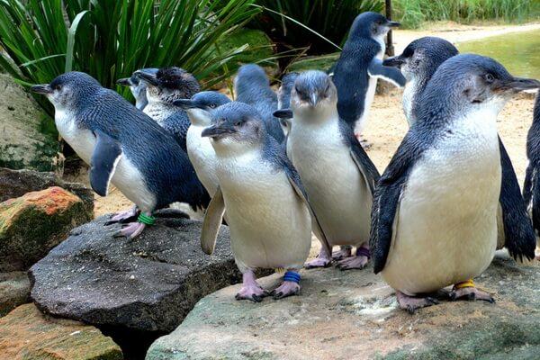 Виды пингвинов с фото и описанием - Малый или голубой пингвин