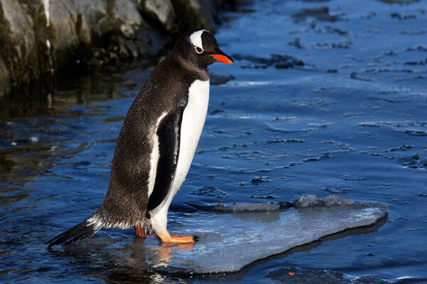 Виды пингвинов с фото и описанием - Субантарктический или папуанский пингвин
