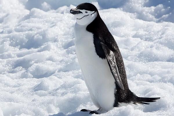 Виды пингвинов с фото и описанием - Антарктический пингвин