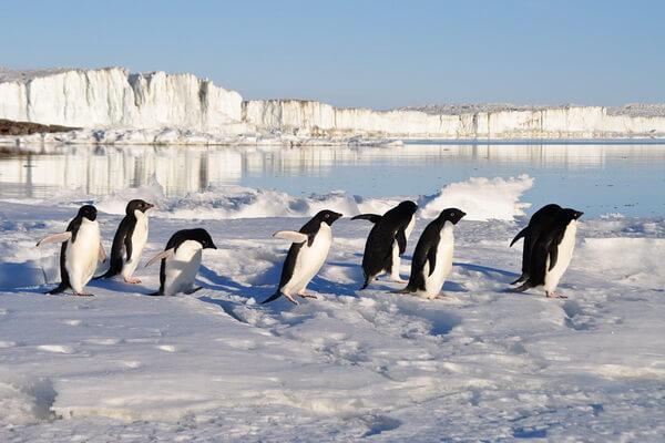 Виды пингвинов с фото и описанием - Пингвин Адели