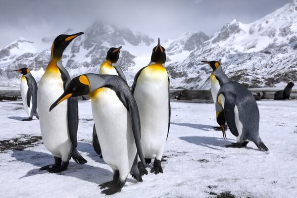 Виды пингвинов с фото и описанием - Королевский пингвин