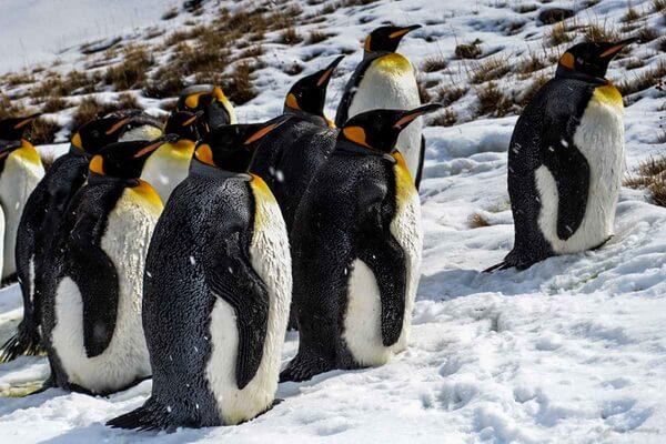 Виды пингвинов с фото и описанием - Императорский пингвин