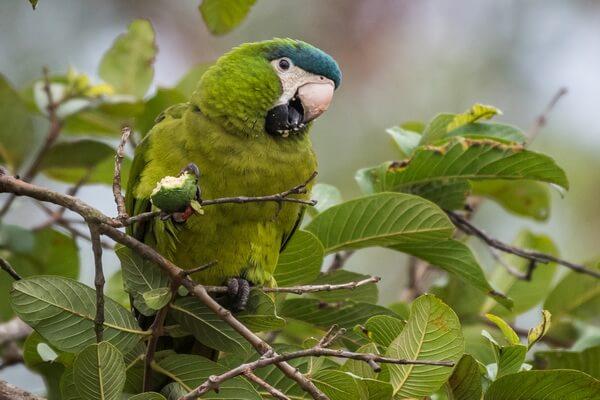 Виды попугаев ара с фото и описанием - Синелобый малый ара