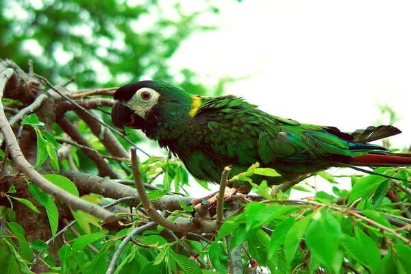 Виды попугаев ара с фото и описанием - Желтошейный ара
