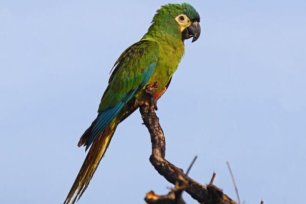 Виды попугаев ара с фото и описанием - Красноспинный ара