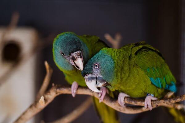 Виды попугаев ара с фото и описанием - Горный ара