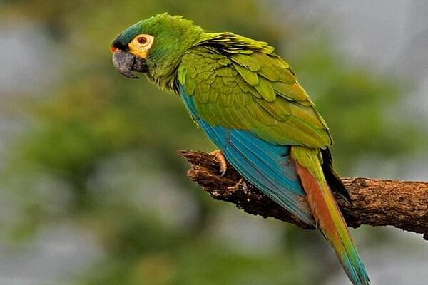 Виды попугаев ара с фото и описанием - Краснобрюхий ара