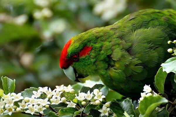 Виды попугаев ара с фото и описанием - Красноухий ара
