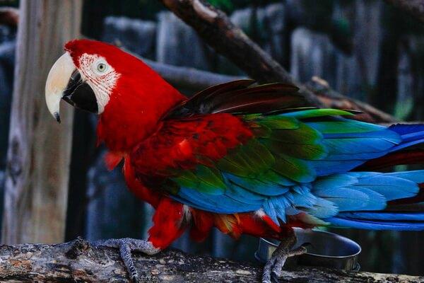 Виды попугаев ара с фото и описанием - Зеленокрылый ара