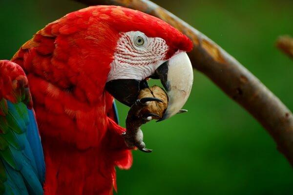 Виды попугаев ара с фото и описанием - Красный ара