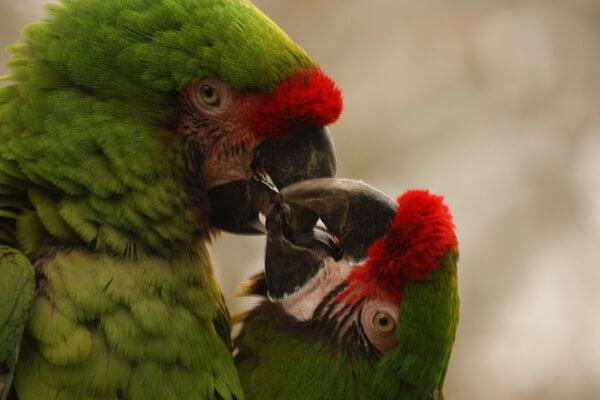 Виды попугаев ара с фото и описанием - Солдатский ара
