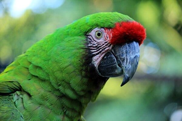 Виды попугаев ара с фото и описанием - Малый солдатский ара