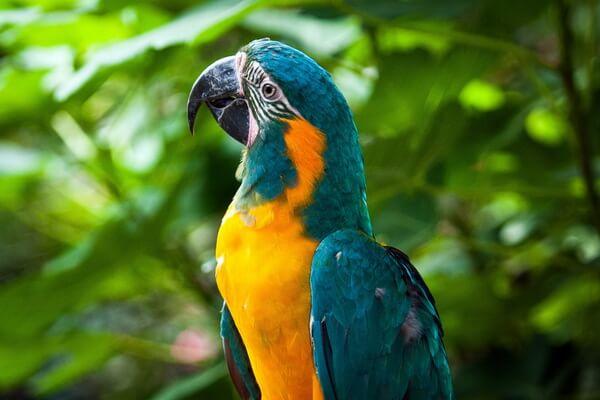 Виды попугаев ара с фото и описанием - Синегорлый ара