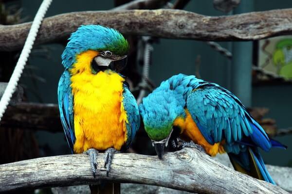Виды попугаев ара с фото и описанием - Сине-жёлтый ара