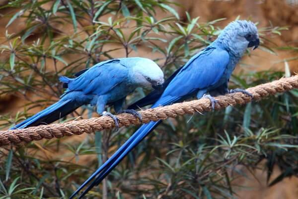 Виды попугаев ара с фото и описанием - Голубой ара