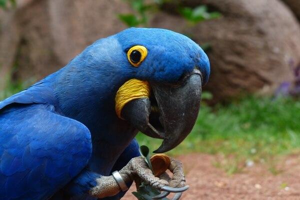 Виды попугаев ара с фото и описанием - Гиацинтовый ара