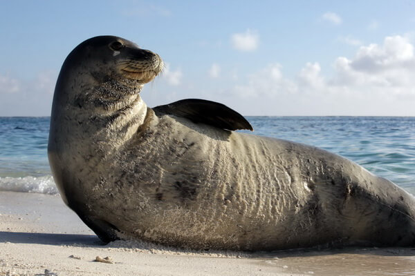 Виды тюленей с фото и описанием - Белобрюхий или средиземноморский тюлень-монах