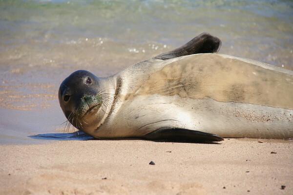Виды тюленей с фото и описанием - Гавайский тюлень-монах