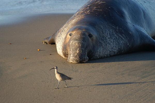Виды тюленей с фото и описанием - Северный морской слон