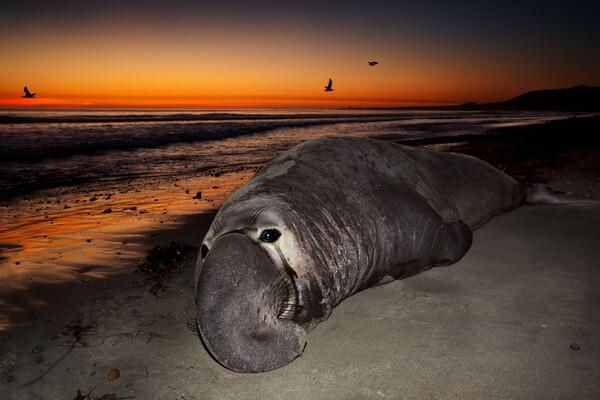 Виды тюленей с фото и описанием - Южный морской слон