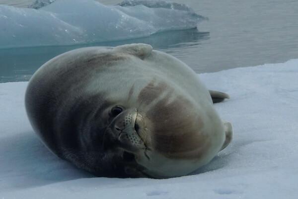 Виды тюленей с фото и описанием - Тюлень Росса