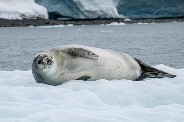 Виды тюленей с фото и описанием - Тюлень-крабоед