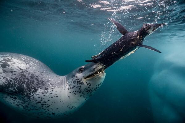 Виды тюленей с фото и описанием - Морской леопард