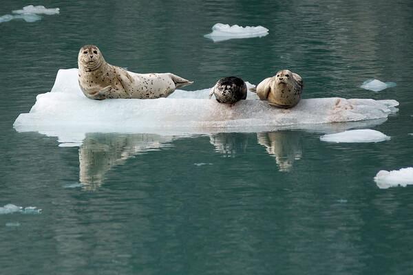 Виды тюленей с фото и описанием - Обыкновенный тюлень