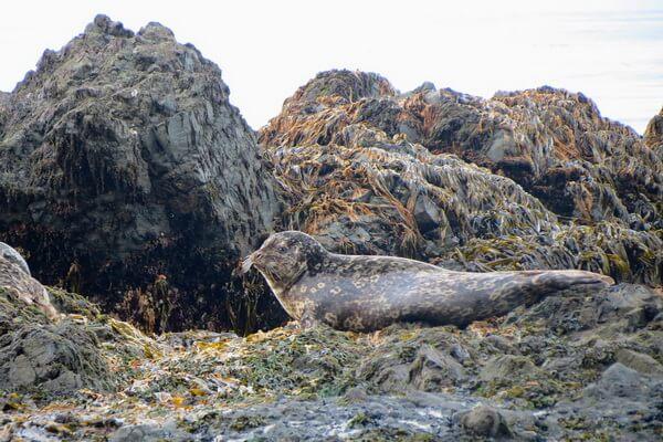 Виды тюленей с фото и описанием - Пёстрая или дальневосточная нерпа (ларга)