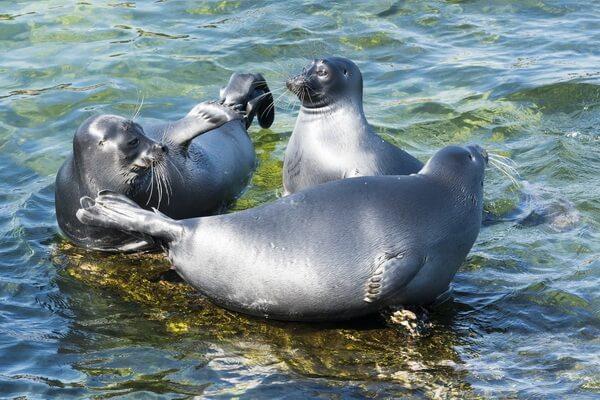 Виды тюленей с фото и описанием - Байкальская нерпа