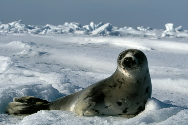 Виды тюленей с фото и описанием - Гренландский тюлень или лысун (взрослая особь)