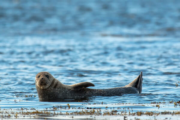 Виды тюленей с фото и описанием - Длинномордый или серый тюлень (тевяк)