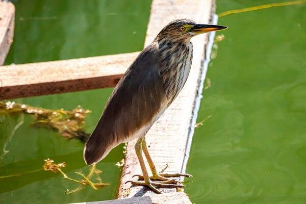 Птица выпь - фото и описание