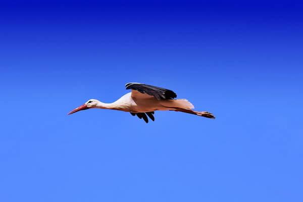 Самые высоко летающие птицы с фото и названиями - Белый аист (4800 м)