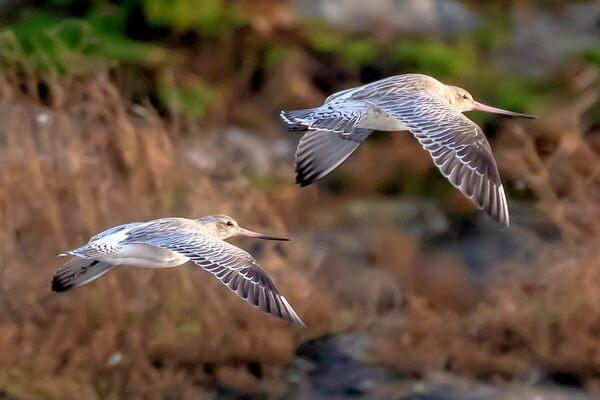 Самые высоко летающие птицы с фото и названиями - Малый веретенник (6096 м)