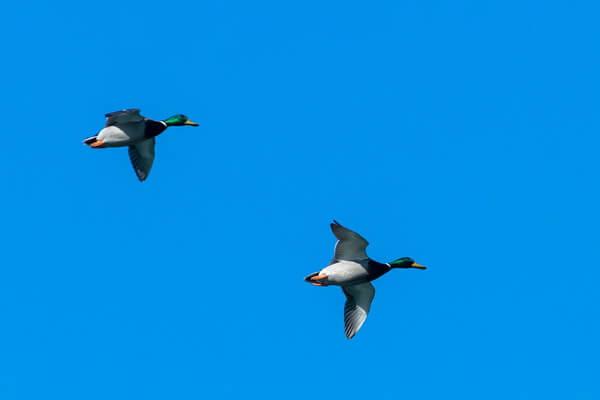 Самые высоко летающие птицы с фото и названиями - Кряква (6400 м)