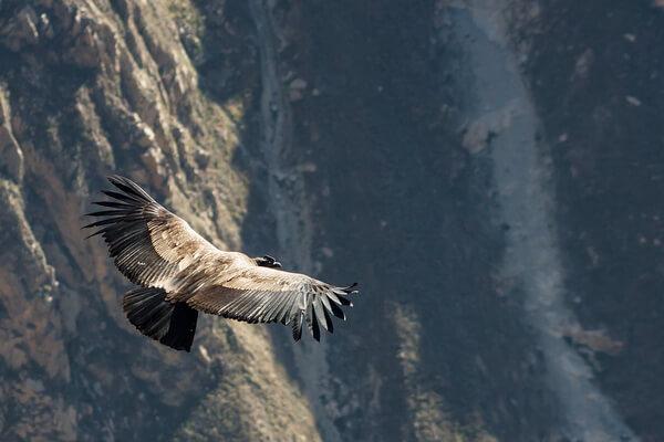 Самые высоко летающие птицы с фото и названиями - Андский кондор (6500 м)