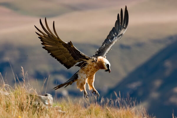 Самые высоко летающие птицы с фото и названиями - Бородач (7300 м)