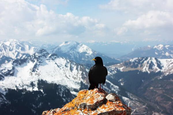 Самые высоко летающие птицы с фото и названиями - Альпийская галка (8000 м)