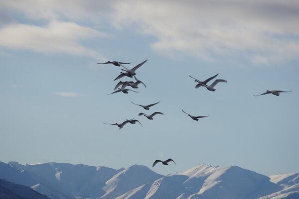 Самые высоко летающие птицы с фото и названиями - Лебедь-кликун (8300 м)