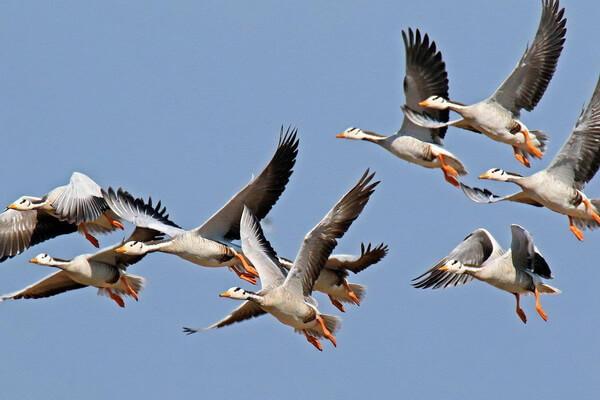 Самые высоко летающие птицы с фото и названиями - Горный гусь (8480 м)