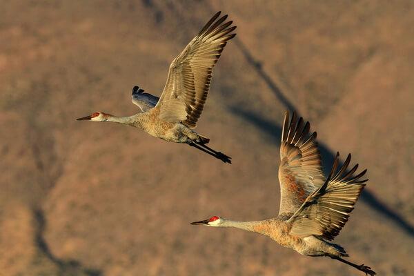 Самые высоко летающие птицы с фото и названиями - Серый журавль (10 058 м)