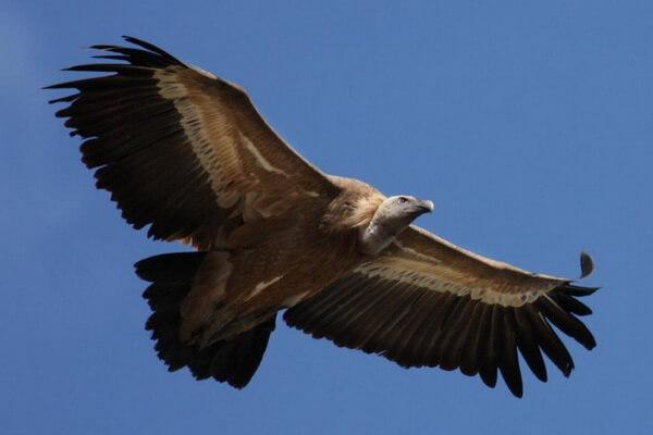 Самые высоко летающие птицы с фото и названиями - Африканский сип (11 300 м)