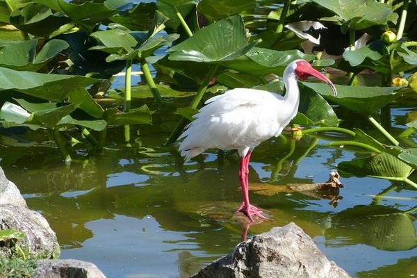 Белый ибис на болоте