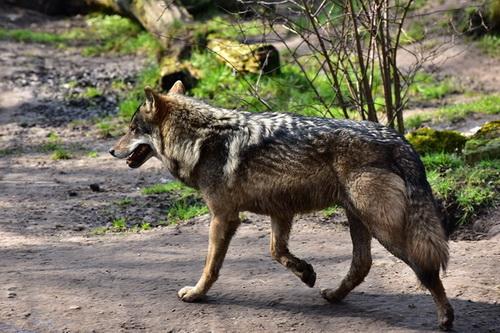 Как волки защищаются от врагов