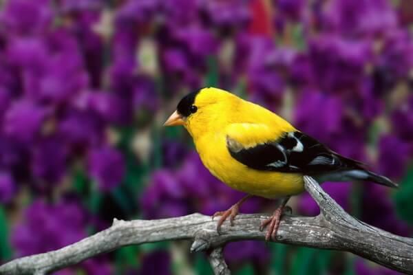 Птицы жёлтого цвета - Американский чиж