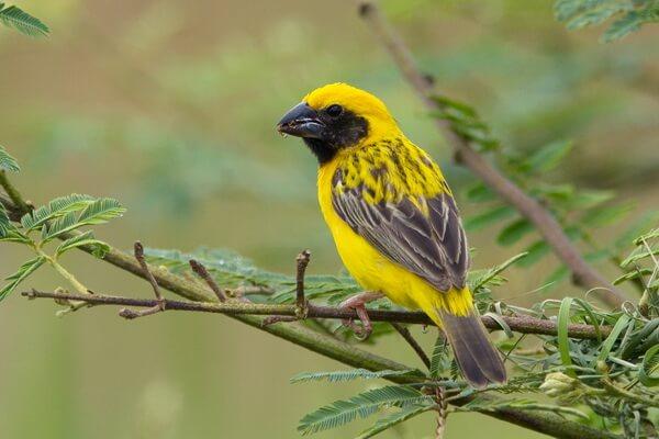 Птицы жёлтого цвета - Азиатский золотой ткач